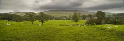 Cattle in a Meadow, Pendle Hill, Clitheroe, Lancashire, England--Photographic Print