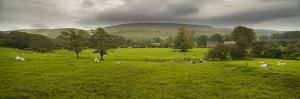 Cattle in a Meadow, Pendle Hill, Clitheroe, Lancashire, England