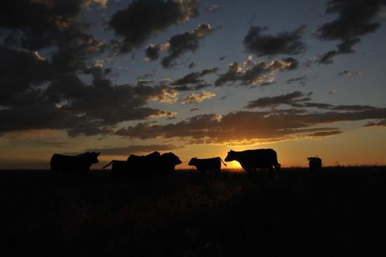 Cattle in a Pasture are Silhouetted by the Sunrise-Michael Forsberg-Photographic Print