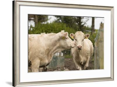 Cattle in a Pen in County Kerry, Ireland-Jeff Mauritzen-Framed Photographic Print
