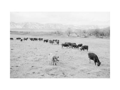 Cattle in South Farm-Ansel Adams-Art Print