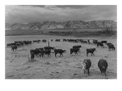 https://imgc.artprintimages.com/img/print/cattle-in-south-farm_u-l-pgjk220.jpg?p=0
