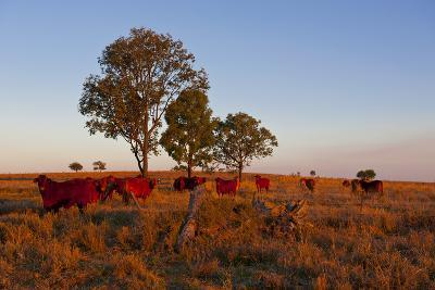 Cattle in the Late Afternoon Light, Carnarvon Gorge, Queensland, Australia, Pacific-Michael Runkel-Photographic Print