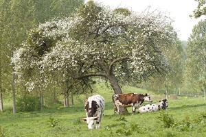 Cattle, Normandy Cows under Tree in Blossom