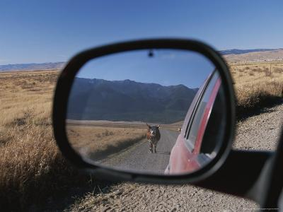 Cattle on a Dirt Road are Reflected in the Rear View Mirror of a Car-Raymond Gehman-Photographic Print