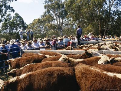 Cattle Sale in Victorian Alps, Victoria, Australia-Claire Leimbach-Photographic Print