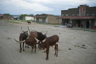 Cattle Stand in the Middle of a Village Road in Uganda, Africa-Joel Sartore-Photographic Print