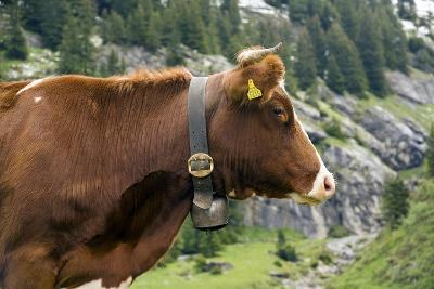 Cattle, Switzerland-Bob Gibbons-Photographic Print