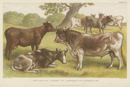 Cattle--Giclee Print