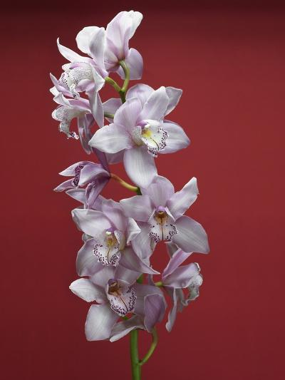 Cattleya orchid--Photographic Print