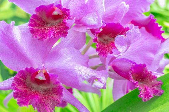 Cattleya Orchid-Island Leigh-Photographic Print