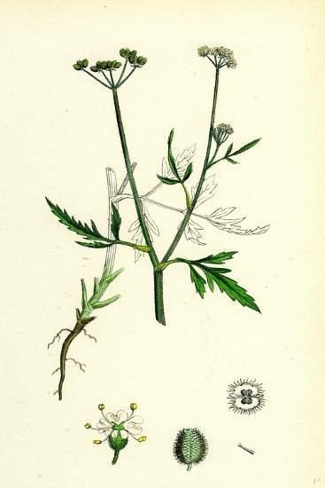 Caucalis Infesta Field Hedge-Parsley--Giclee Print