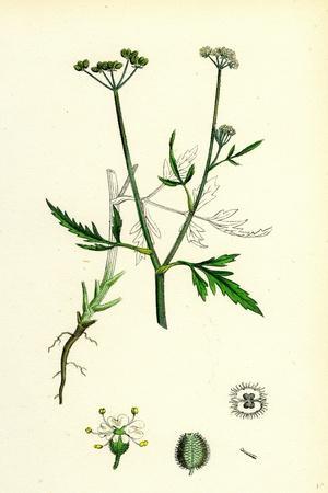 https://imgc.artprintimages.com/img/print/caucalis-infesta-field-hedge-parsley_u-l-pvfq4p0.jpg?p=0