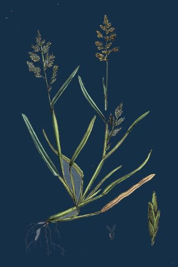Caucalis Nodosa; Knotted Hedge-Parsley--Giclee Print