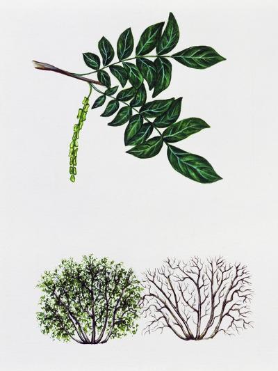 Caucasian Wingnut or Caucasian Walnut (Plerocarya Fraxinifolia)--Giclee Print