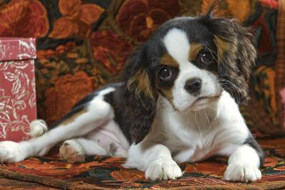 Cavalier King Charles Dog Puppy--Photographic Print