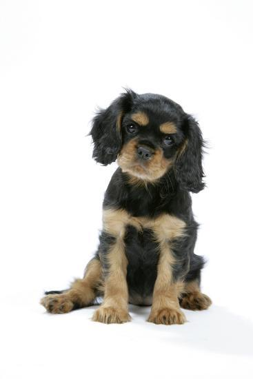 Cavalier King Charles Spaniel Puppy 6-7 Weeks Old--Photographic Print