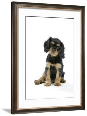 Cavalier King Charles Spaniel Puppy 6-7 Weeks Old--Framed Photographic Print