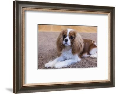 Cavalier King Charles Spaniel puppy reclining on the carpet.-Janet Horton-Framed Photographic Print