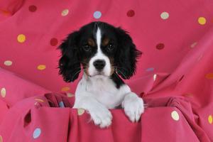 Cavalier King Charles Spaniel Puppy Sitting