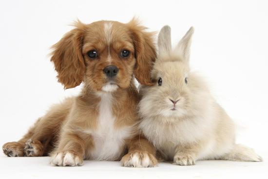 Cavalier King Charles Spaniel Puppy, Star, with Sandy Rabbit-Mark Taylor-Photographic Print