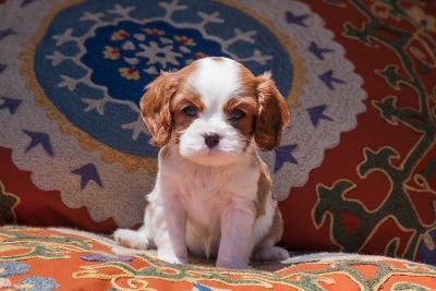 Cavalier King Charles Spaniel Puppy-Zandria Muench Beraldo-Photographic Print