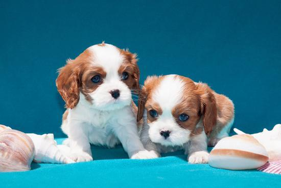 Cavalier Puppies with Shells-Zandria Muench Beraldo-Photographic Print
