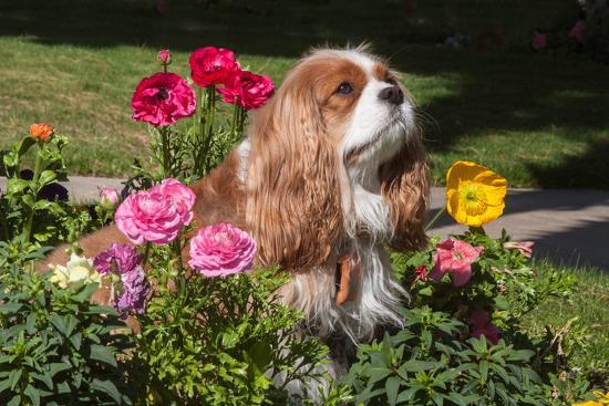 Cavalier Sitting in a Flowerbed-Zandria Muench Beraldo-Photographic Print