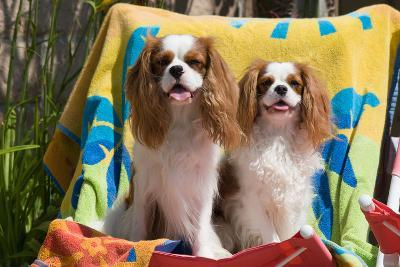 Cavaliers at a Pool Party-Zandria Muench Beraldo-Photographic Print