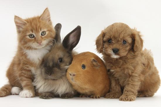 Cavapoo (Cavalier King Charles Spaniel X Poodle) Puppy with Rabbit, Guinea  Pig and Ginger Kitten Photographic Print by Mark Taylor   Art com