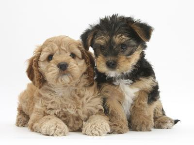 Cavapoo Puppy, 7 Weeks, and Yorkshire Terrier Puppy, 8 Weeks-Mark Taylor-Photographic Print