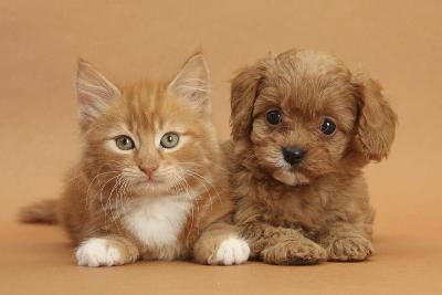 Cavapoo Puppy and Ginger Kitten-Mark Taylor-Photographic Print