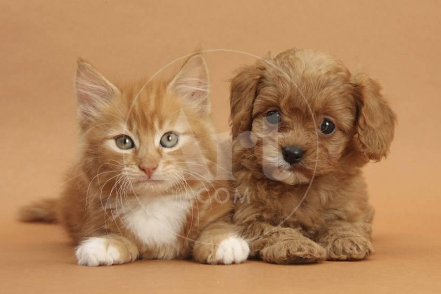 Cavapoo Puppy and Ginger Kitten Photographic Print by Mark Taylor | Art com
