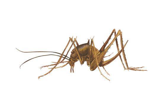 Cave Cricket (Ceuthophilus Uhleri), Insects-Encyclopaedia Britannica-Art Print