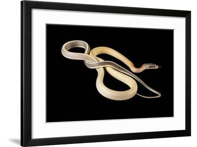 Cave Ratsnake, Elaphe Taeniura Ridleyi, at the Omaha Zoo-Joel Sartore-Framed Photographic Print
