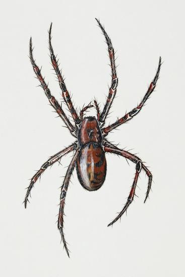 Cave Spider (Meta Menardi), Tetragnathidae, Artwork by Rebecca Hardy--Giclee Print