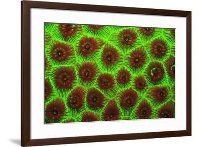 Cavernous Star Coral, Night Fluorescing. Bonaire, Caribbean-Stuart Westmorland-Framed Photographic Print