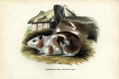Cavy, 1863-79-Raimundo Petraroja-Giclee Print