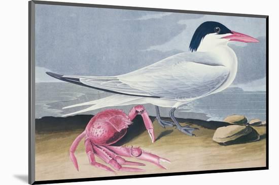 Cayenne Tern-John James Audubon-Mounted Premium Giclee Print