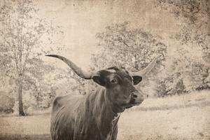 Vintage Style Farm Image with Longhorn Cow, Sepia Tone and Rural Country Outdoors by cctm