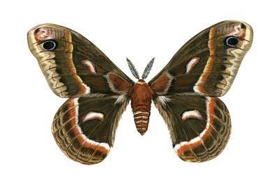 https://imgc.artprintimages.com/img/print/cecropia-moth-samia-cecropia-emperor-moth-insects_u-l-q135lfx0.jpg?p=0