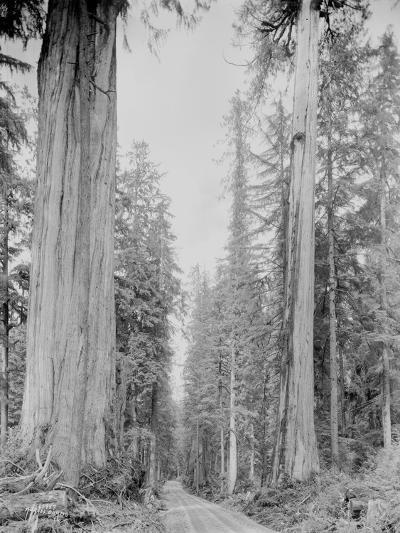 Cedar Trees, Clearwater, WA, 1936-Ashael Curtis-Giclee Print