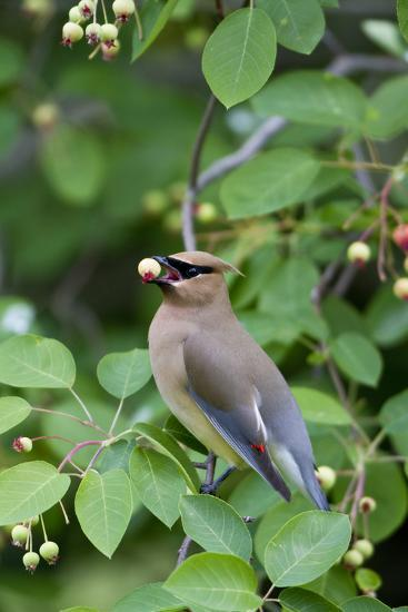 Cedar Waxwing Eating Berry in Serviceberry Bush, Marion, Illinois, Usa-Richard ans Susan Day-Photographic Print