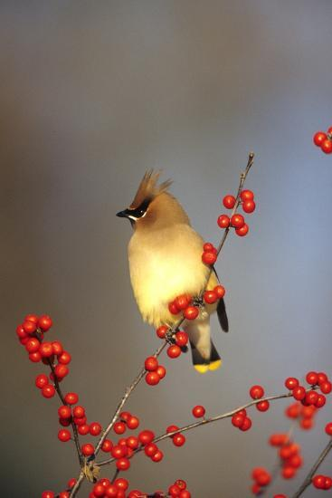 Cedar Waxwing in Common Winterberry, Marion, Il-Richard and Susan Day-Photographic Print