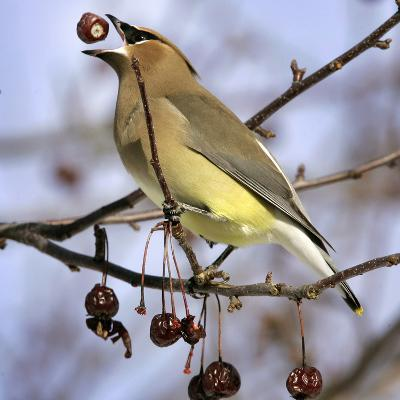 Cedar Waxwing Tosses Up a Fruit from a Flowering Crab Tree at the Town Hall--Photographic Print