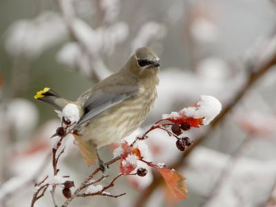 Cedar Waxwing, Young on Hawthorn with Snow, Grand Teton National Park, Wyoming, USA-Rolf Nussbaumer-Photographic Print