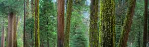 Cedars and Pines, Yosemite National Park, California, USA