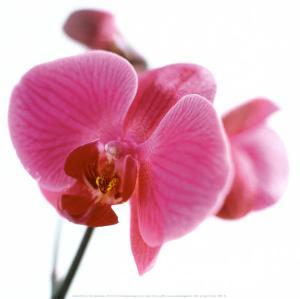 Pink Orchid by Cédric Porchez