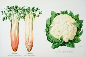 Celery and Broccoli, Illustration from 'Harrisons' Seed Catalogue', C.1900
