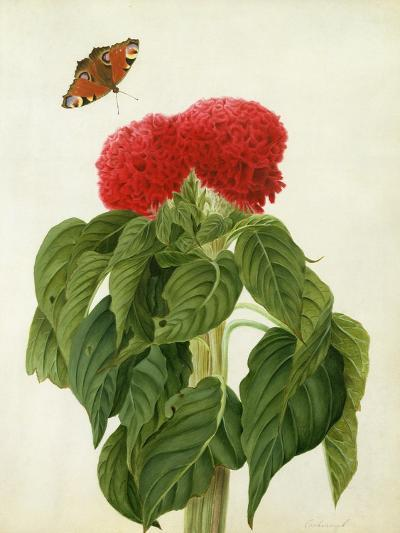 Celosia Argentea Cristata and Butterfly (W/C and Gouache over Pencil on Vellum)-Matilda Conyers-Giclee Print